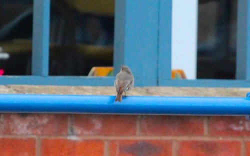 Black Redstart no.2 located around the Marina