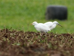 Cattle Egret & Little Egret