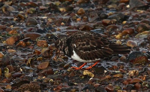 Turnstone doing what they do best!