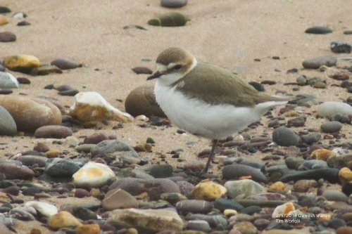 Kentish Plover female - Dawlish Warren 2/5/2014
