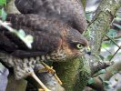 Sparrowhawk © Kenneth Bradley, 24/8/2020, Combeinteignhead, Male juvenile sparrowhawk.