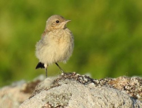 Wheatear fledgling