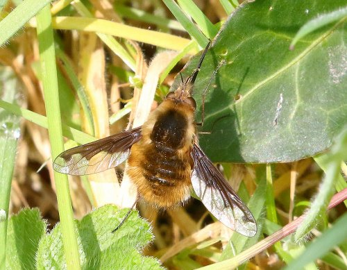 The large bee-fly (Bombylius major)