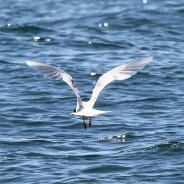 Med gull taking off
