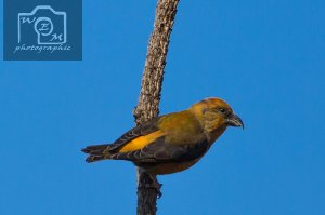 Crossbill At Soussons 2