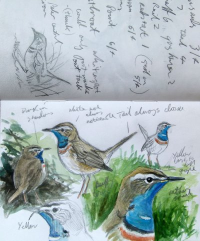 Bluethroat Start Pnt 6 April 2013