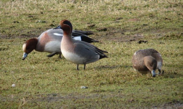 Wigeon X Teal Hybrid, Otter Estuary 2012 by Chris Townend