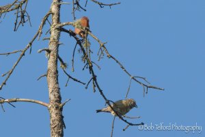 Male and female Common Crossbill