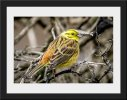 Photo 20 - Yellowhammer by Colin Scott