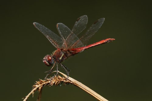 Red veined darter, male