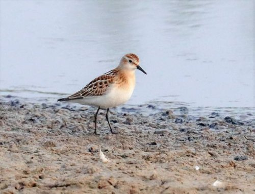 Great photo of the Little Stint taken by Mark Dobinson