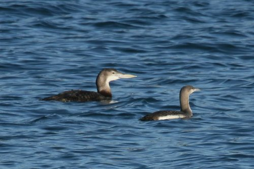 White billed and black throated divers, Brixham Harbour