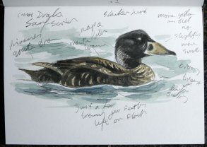 imm drake Surf Scoter Sharkham 20 Jan 2017 ML