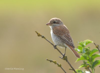 Red-backed Shrike Dawlish Warren 8.9.13 Charlie Fleming