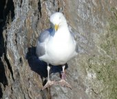 Herring Gull with Leg ring