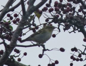 Yellow-browed Warbler Berry Hd 26 Oct 2014 ML