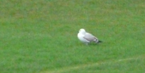 caspian gull - apologies for yet more awful quality pics