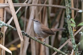 Cetti's Warbler - Wrafton Pond.