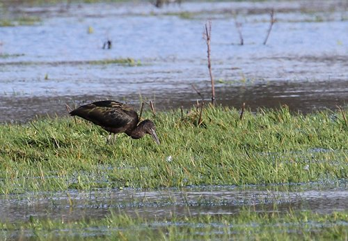 Glossy Ibis, Otter Estuary 7th Jan 2014