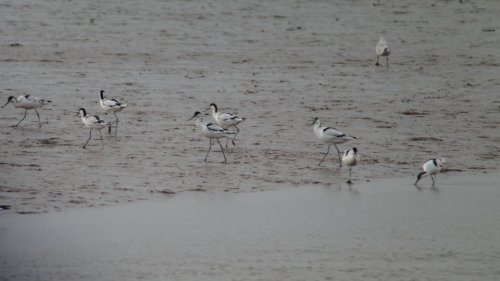 Avocet  BGM Viewing Platform  11-9-2015