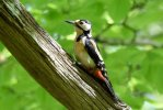 Great Spotted Woodpecker © Greg Bradbury, 14/5/2018, Stover Country Park