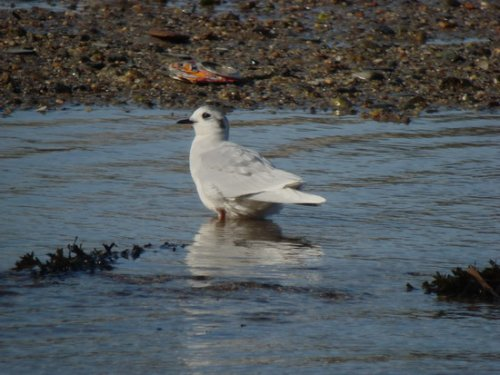 Little Gull, ad, Plym Estuary