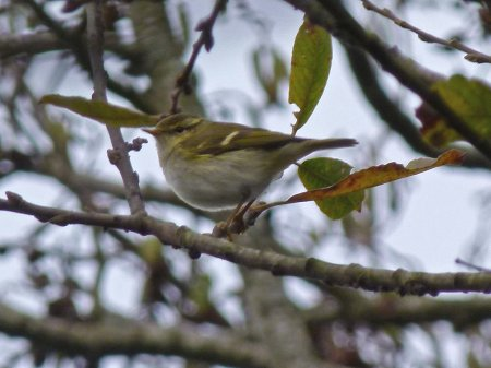 yellow-browed Warbler Broadsands 12 Dec 2014 ML