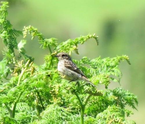 Stonechat juv  20 June