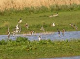 Black-tailed Godwits &Bar-tailed godwits