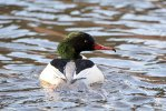 Goosander © Chris Bollen, 9/1/2019, Stover Country Park, Male bird