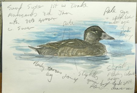 1st w drake Surf Scoter Man Sands 2017