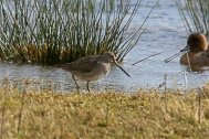 Long-billed Dowitcher Bowling Green Marsh 29th Feb