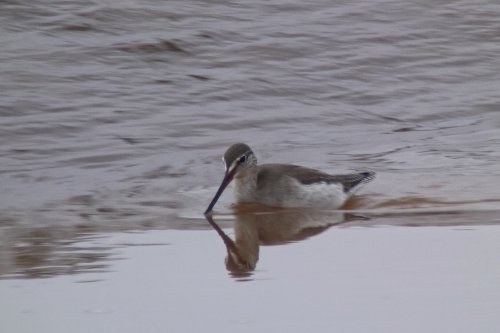 Spotted Redshank, Clyst Estuary