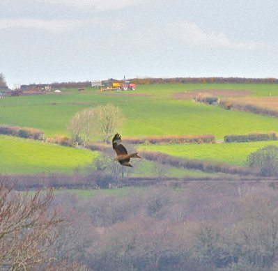 Red Kite Throwleigh 27.4.2013 Chris Caldwell