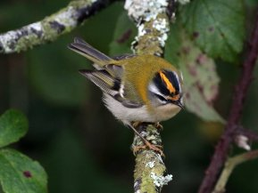 Firecrest at Broadsands