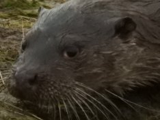 Otter close up.