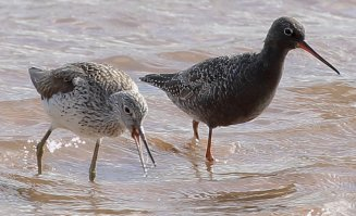 Spotted Redshank and Greenshank