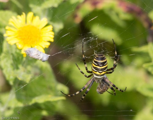 Female Wasp Spider - South Efford Marsh - 2.9.2017