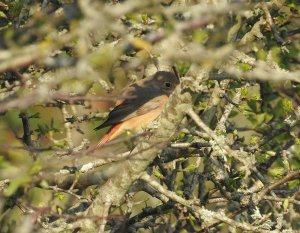 Female Redstart Berry Head 17 April 2021 ML