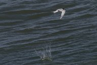 Tern dropped its catch