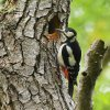 Great Spotted Woodpecker © Tom Wallis, 5/5/2017, Dunsford Wood