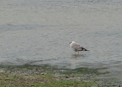 Yellow-legged Gull, juv