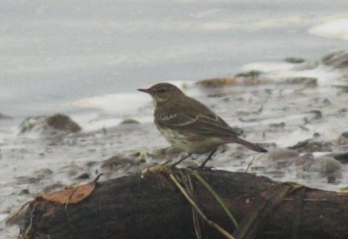 Water Pipit - Topsham 7/11/2013