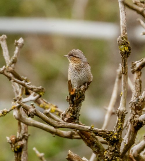 Wryneck [record shot]