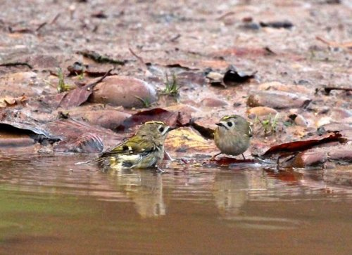 Two Goldcrest bathing