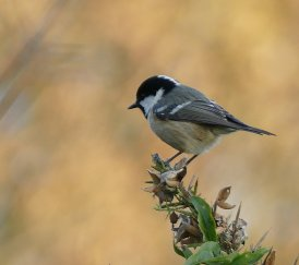 Coal Tit britanicus Berry Hd 16 Oct 2015 ML
