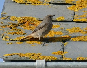 Black Redstart Hallsands 31 Oct 2015 ML