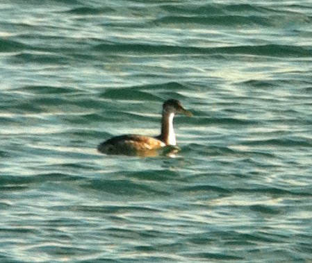 Red-necked Grebe Broadsands 17 Jan 2015 ML