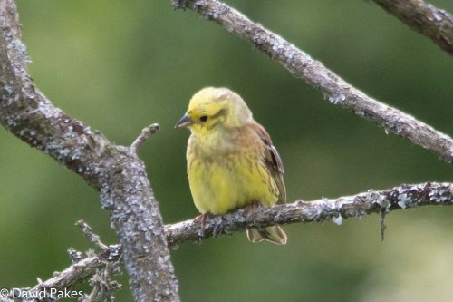 One of 4 Yellowhammers -South Brent - 10.6.15