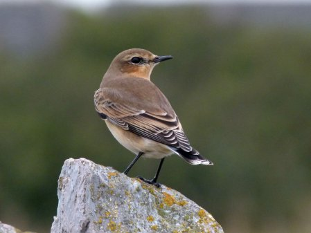 Wheatear 1cy Berry Head 27 Sept 2014 ML